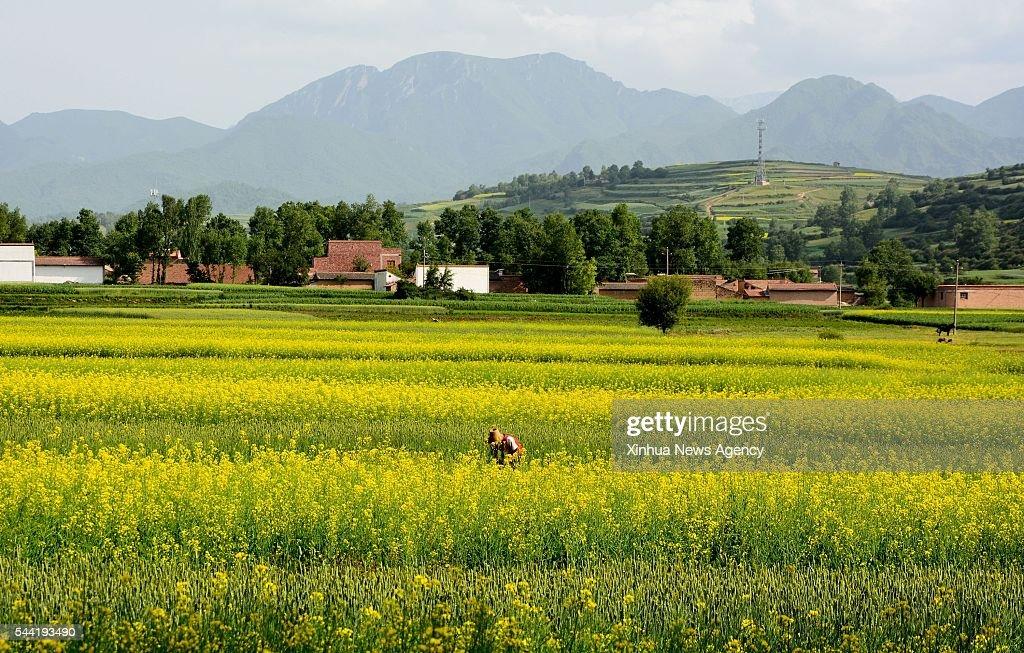 WEIYUAN, July 1, 2016 -- A farmer works in fields of rape flowers in Weiyuan County, northwest China's Gansu Province, July 1, 2016.