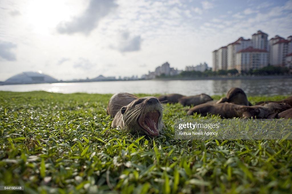 SINGAPORE, July 1, 2016-- Photo taken on July 1, 2016 shows members of a wild otter family called 'Bishan10' in Singapore's Kallang Basin area. The size of this wild otter family has enlarged from only two otters spotted for the first time in Singapore's central area Bishan Park in 2014 to ten otters till now. As a result, Singapore's otter enthusiasts nicknamed them as 'Bishan10'. Within these 2 years, there is an increase in sightings of different otter families in many places of Singapore. The 13th International Otter Congress organised by International Union for Conservation of Nature will be held in Singapore for the first time from July 3 to 8.