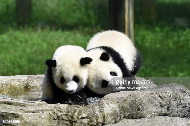 CHONGQING July 11 2017 Giant panda twins 'Yu Bao' and 'Yu Bei' play at Chongqing Zoo in Chongqing southwest China July 11 2017 The zoo held a party...
