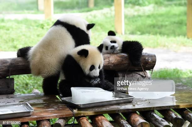 CHONGQING July 18 2017 A panda has an ice cube in its arms for coolness at Chongqing Zoo in southwest China's Chongqing Municipality July 18 2017 The...