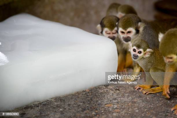 HEFEI July 18 2017 Squirrel monkeys approach an ice cube at Hefei Wildlife Park in Hefei capital of east China's Anhui Province July 18 2017 The zoo...