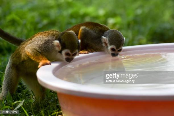 HEFEI July 18 2017 Squirrel monkeys drink water at Hefei Wildlife Park in Hefei capital of east China's Anhui Province July 18 2017 The zoo provided...