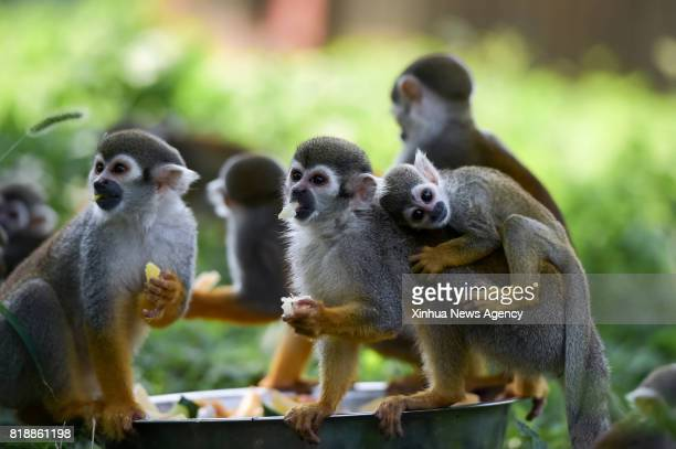 HEFEI July 18 2017 Squirrel monkeys eat fruits at Hefei Wildlife Park in Hefei capital of east China's Anhui Province July 18 2017 The zoo provided...