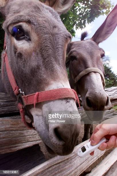 IMAGE July 18/2000BREATH TESTERToronto Star reporter Jenniffer Quinn tries to get a breath sample of a donkey at the Riverdale Farm The new device...