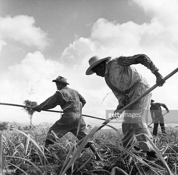 Agricultural labourers at work on a sugar plantation between Santa Isabel and Ponce in Puerto Rico
