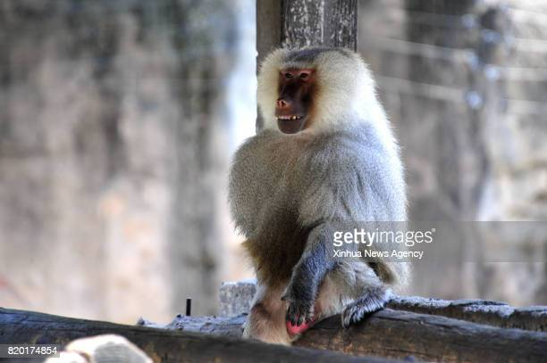 SHANGHAI July 21 2017 A baboon hides in shades at Shanghai Zoo in east China's Shanghai July 21 2017 The meteorological department of east China...