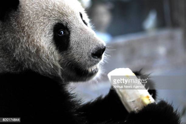 SHANGHAI July 21 2017 A giant panda enjoys an ice cube inside an airconditioned enclosure at Shanghai Zoo in east China's Shanghai July 21 2017 The...