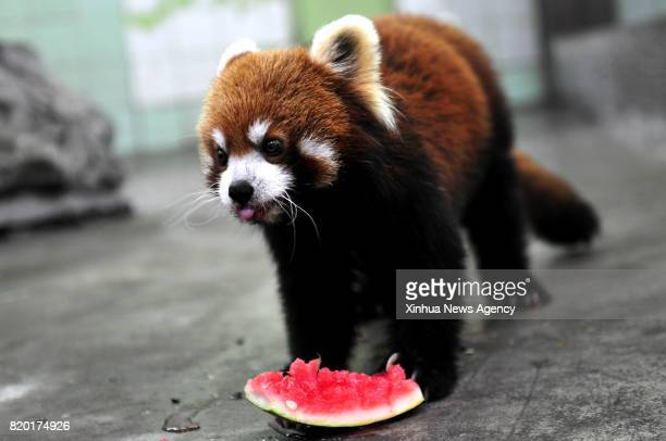 SHANGHAI July 21 2017 A red panda eats watermelon at Shanghai Zoo in east China's Shanghai July 21 2017 The meteorological department of east China...