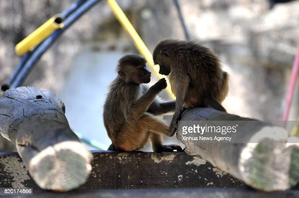 SHANGHAI July 21 2017 Baboons hide in shades at Shanghai Zoo in east China's Shanghai July 21 2017 The meteorological department of east China...