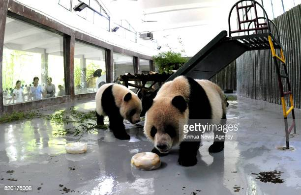 SHANGHAI July 21 2017 Giant pandas enjoy ice cubes inside an airconditioned enclosure at Shanghai Zoo in east China's Shanghai July 21 2017 The...