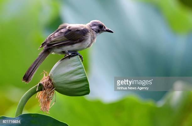 FUZHOU July 23 2017 A bird perches on a seed pod of lotus at the Xihu Park in Fuzhou southeast China's Fujian Province July 23 2017