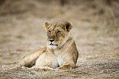 NAIROBI July 25 2016 A lion rests at the Maasai Mara National Reserve Kenya July 23 2016 The Maasai Mara National Reserve popularly known as Africa's...