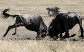 NAIROBI July 25 2016 Two wildebeests battle with each other at the Maasai Mara National Reserve Kenya July 23 2016 The Maasai Mara National Reserve...