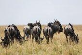NAIROBI July 25 2016 Wildebeests are seen at the Maasai Mara National Reserve Kenya July 23 2016 The Maasai Mara National Reserve popularly known as...