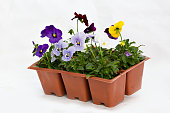 A jumbo 6 pack of annual violas on a white isolated background.
