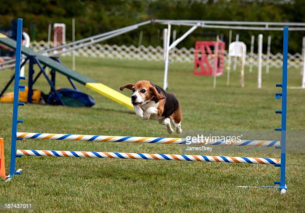 Jumping Beagle; Tiny Wonder Dog Running in Agility Competition