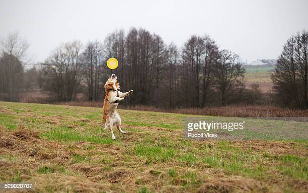 Jumping Border collie cytching a frisbee