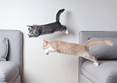 side view of two maine coon kittens jumping from one sofa to another in front of white wall