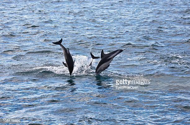Jumping Dusky Dolphins in Kaikoura Bay on December 08 2010 in Kaikoura South Island New Zealand