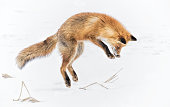 A fox is hunting a vole in the snow in Japan