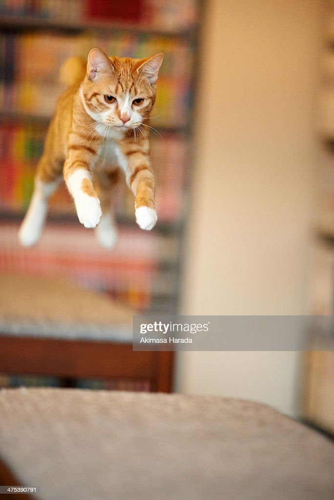 Jumping ginger cat : Stock Photo