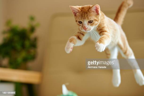 Jumping ginger kitten