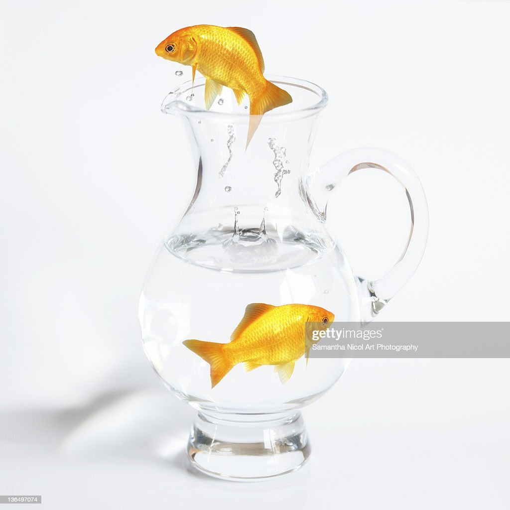 Jumping gold fish from glass jug : Stock Photo