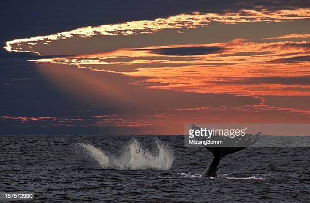 Jumping Gray Whale at Sunset