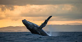 Jumping humpback whale at sunset. Madagascar.