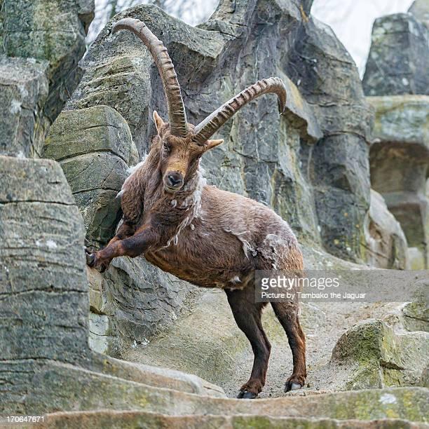 Jumping ibex