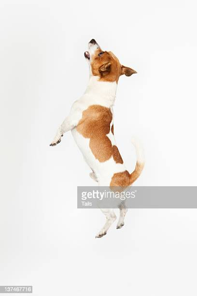 Jumping Jack Russel