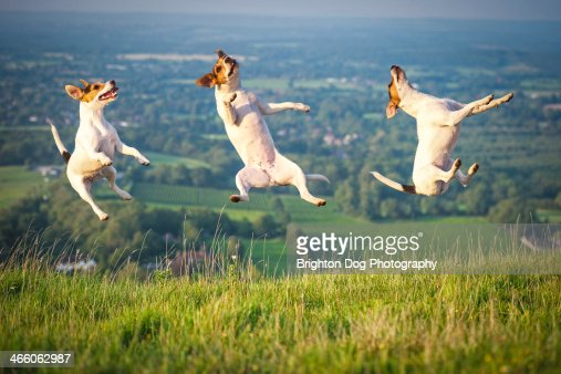 A jumping Jack Russell composite