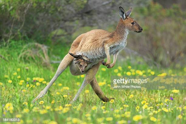 Jumping kangaroo and baby joey. Australia.
