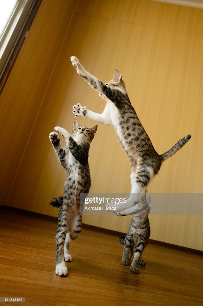 jumping kitten : Stock Photo