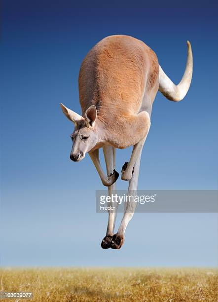 jumping red kangaroo