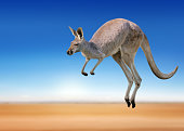 a red kangaroo jumping around in the outback