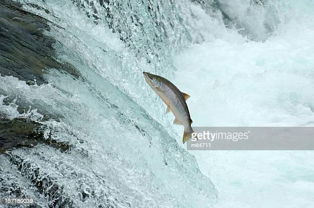Jumping Salmon