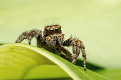 Jumping spider with big eyes in natural green leaves environment