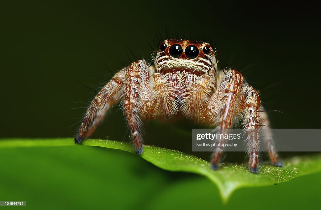 Jumping Spider : Stock Photo