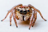 Jumping Spider in detail and white background