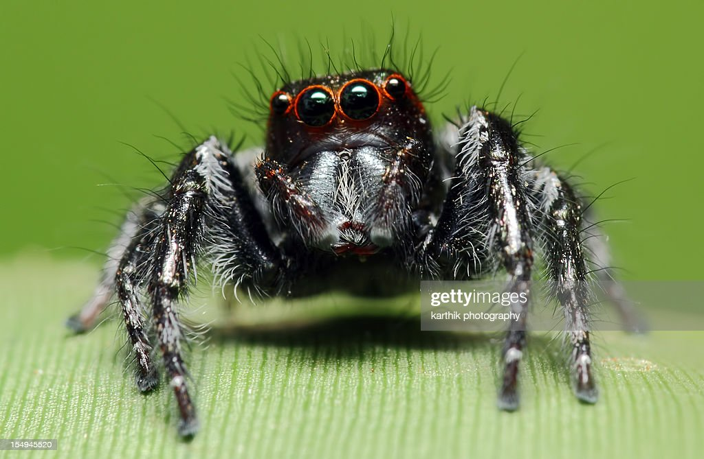 Jumping Spider Resting On A Leaf : Stock Photo