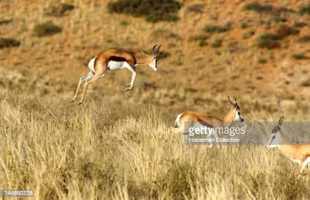 Jumping Springboks Kgalagadi Transfrontier Park South Africa