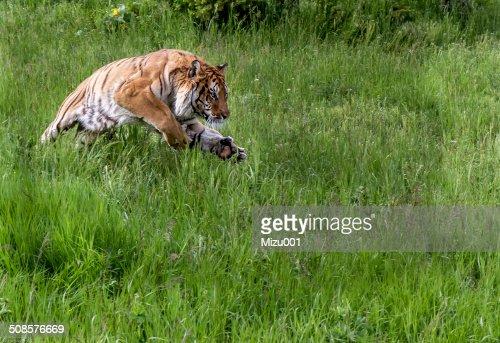 Jumping Tiger : Stock Photo