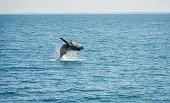 Jumping Wal Hervey Bay, Australia