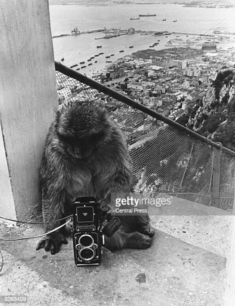 A rock ape from Gibraltar which is still under British sovereignty is examining a camera at the top of a steep flight of stone steps Behind the...