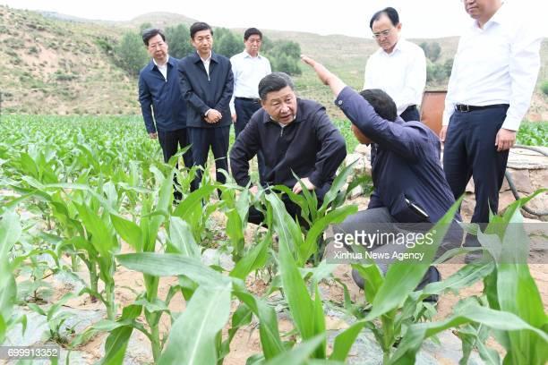 TAIYUAN June 21 2017 Chinese President Xi Jinping checks on the growth of corns in Zhaojiawa Village of Kelan County in Xinzhou City north China's...