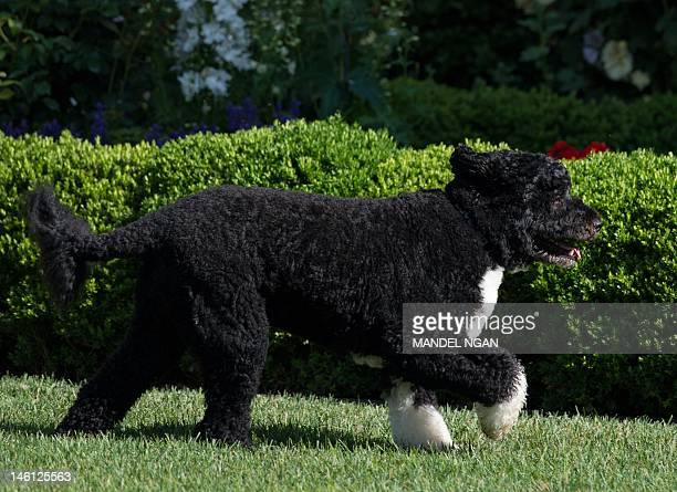 A June 6 2012 photo shows 'Bo' the Obama family dog running in the Rose Garden of the White House AFP PHOTO/Mandel NGAN