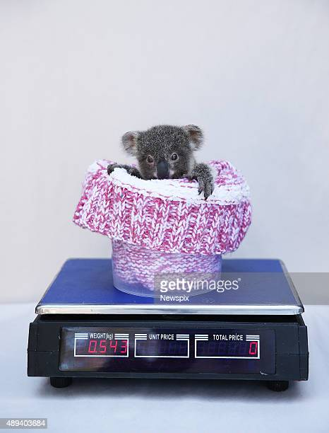 'June' the baby koala pictured is weighed at the Australian Reptile Park Somersby on the Central Coast New South Wales