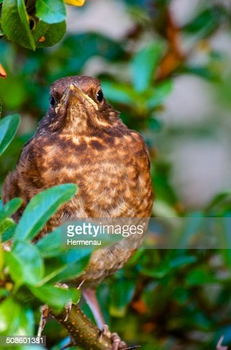 Junge Amsel : Stock Photo