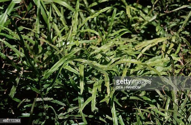 Jungle Brake Pteridaceae
